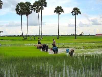 Rice Planting
